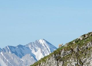 un bouquetin au bord d'une falaise, au grand bornand le 16 juin 2013, photo Gilles BERTRAND