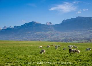 Troupeau de bovins dans un paturage en montagne - A Eteaux - le 1r novembre 2011 - photo : Gilles Bertrand