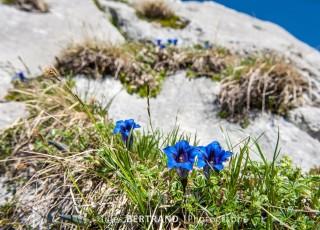 gentianes bleues dans les alpes Françaises, au grand bornand le 16 juin 2013, photo Gilles BERTRAND